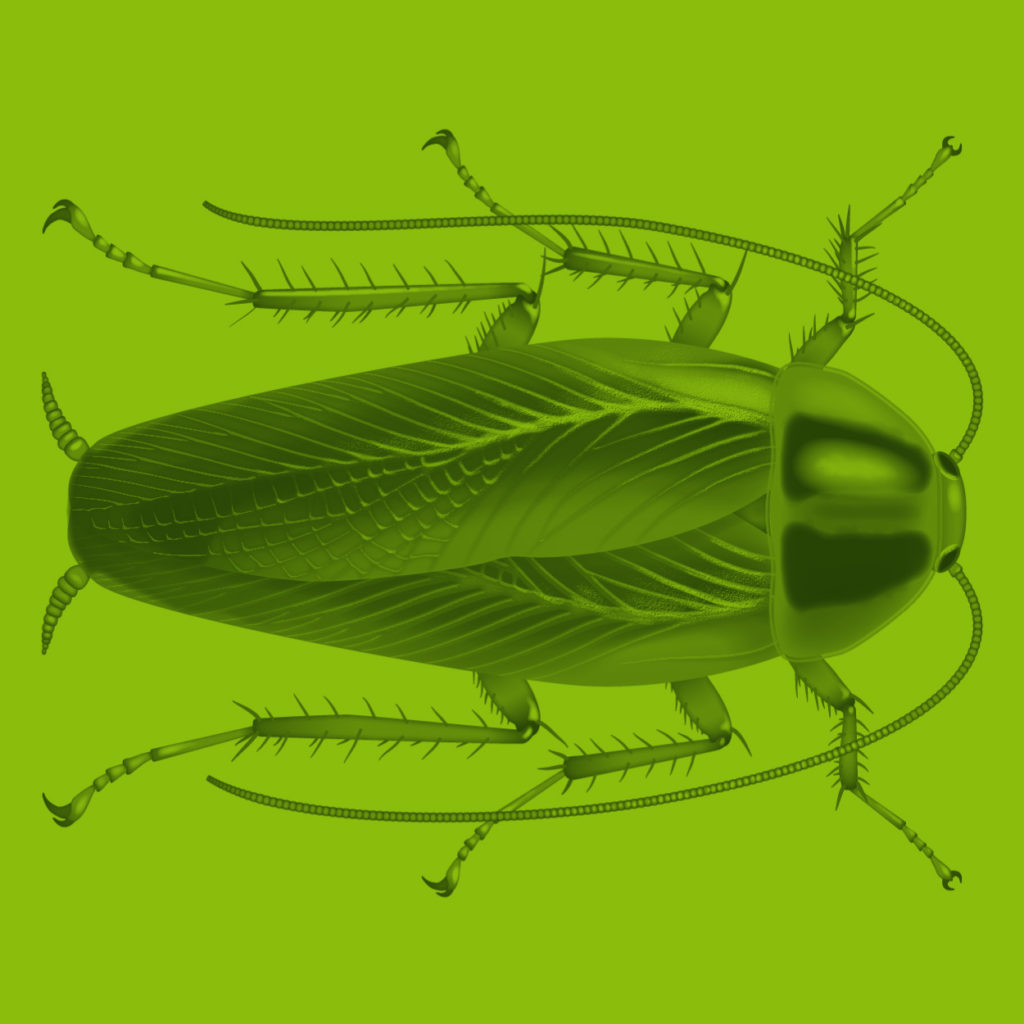 Beetle Scientific Illustration