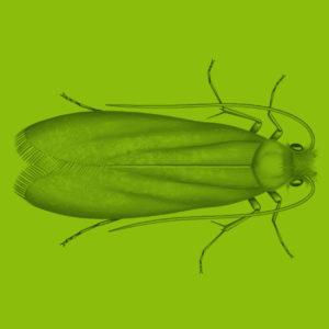 Clothes moth scientific illustration