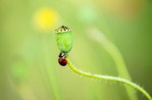 Marienkäfer auf Moonblume